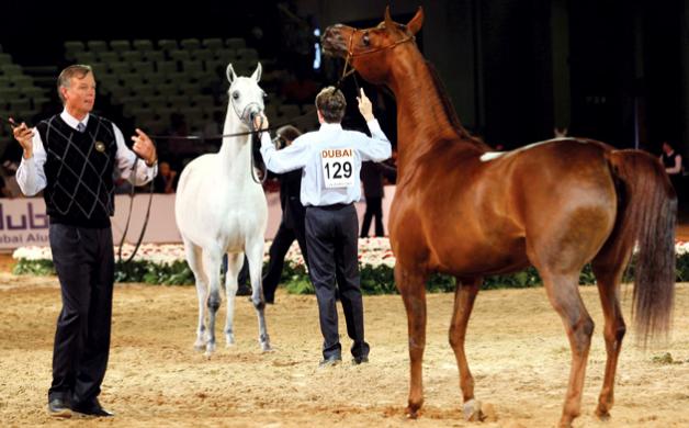 بطولة دبي الدولية للجواد العربي وضعت قوانين خاصة و لا تختلف كثيراً عن قانون «الايكاهو»