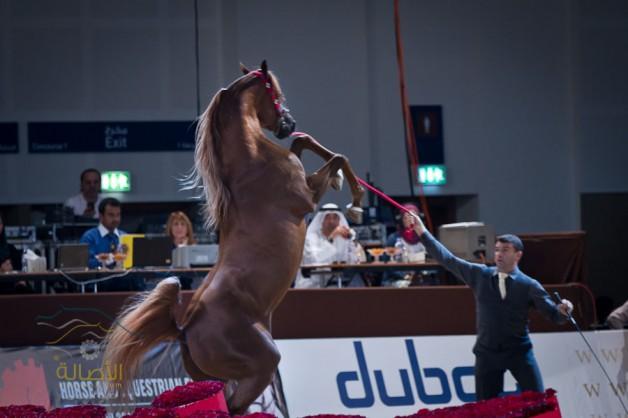 الخيل العربي أعرق وأجمل سلالات الخيول في العالم