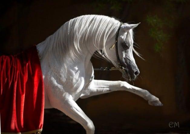 رفع الحظر عن تصدير الخيول في الكويت بعد خلوها من مرض «الرعام»