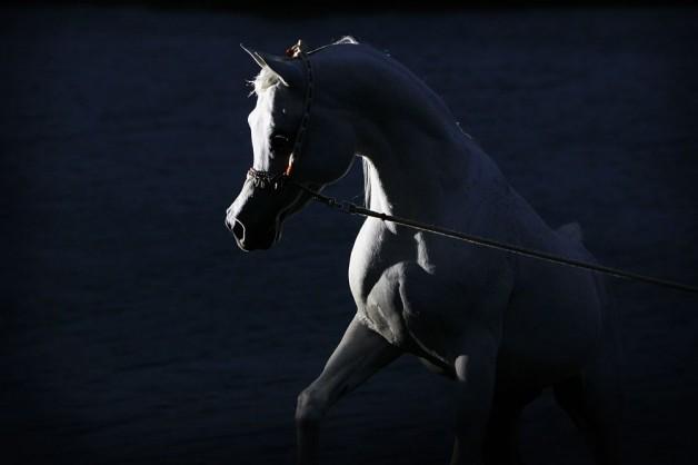 الخيالة السلطانية تفوز ببطولة لامبال الفرنسية لجمال الخيل