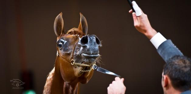 دراسة :الخيول تتعرف على صديقها عن طريق الاذن قبل النظر
