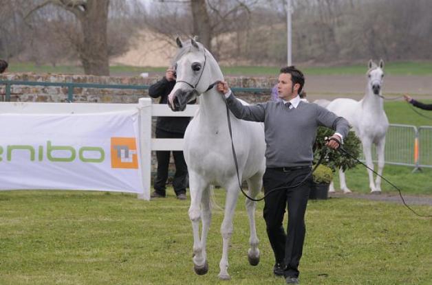 مربط «النايفات» يتوج بطلاً لبطولة إيطاليا الدولية لجمال الخيل