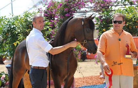 بالصور بطولة منتون الدولية ٢٠١٢ للخيل العربية الأصيلة –  تغطية ارابيان فلاش لايت