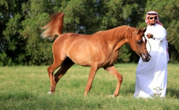ملاك الخيول يطالبون بتنظيم مسابقة جمال الخيل في الجبيل