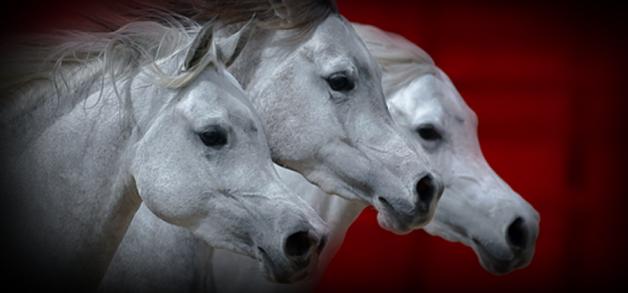 هواية تربية الخيول تتحول إلى تجارة في الكويت