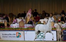 اعلان عن بطولة كأس الخالدية لمنتجي الخيل العربية الثانية بالمملكة ٢٠١٢