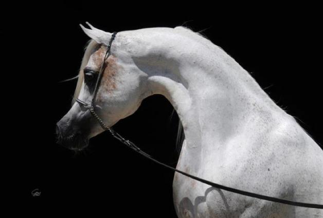أنساب الخيول العربية الأصيلة وسلالاتها