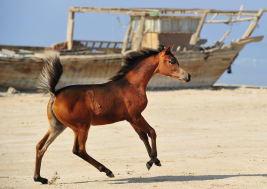 الحصان العربي الأصيل والإنتشار العالمي..