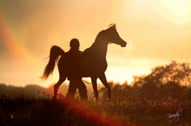 مواصفات الحصان العربي