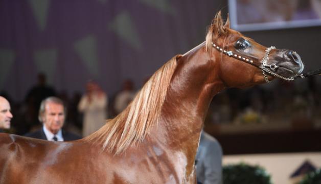 """العنزي لصحيفة الرأي: المجاملات في بطولة آخن أهدت الجائزة الى حصان آخر! """"من أجل دعمه للبطولة"""""""