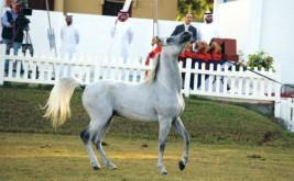 خيول مربط عجمان تتفوق في مهرجان الشارقة