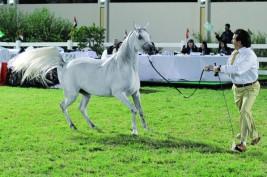 بدء التسجيل ببطولة ابوظبي الدولية لجمال الخيل العربية الأصيلة ٢٠١٣