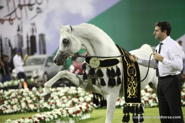 النتائج النهائية لبطولة عجمان لجمال الخيل العربية الأصيلة ٢٠١٣