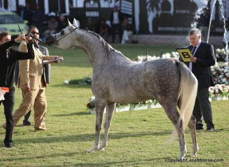 النتائج المصورة لبطولة عجمان لجمال الخيل العربية الأصيلة ٢٠١٣