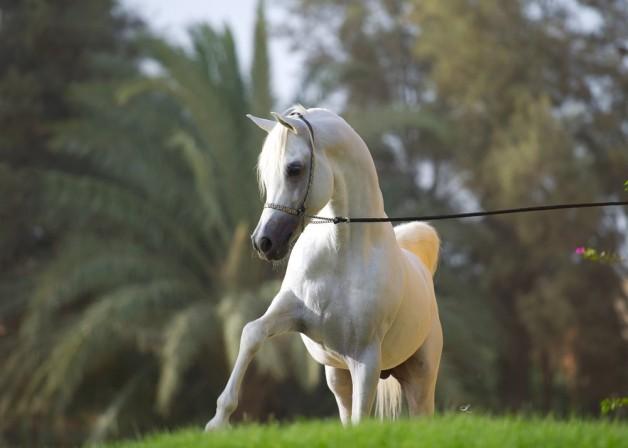 مساع إماراتية لرفع الحظر عن تصدير الخيول المصرية