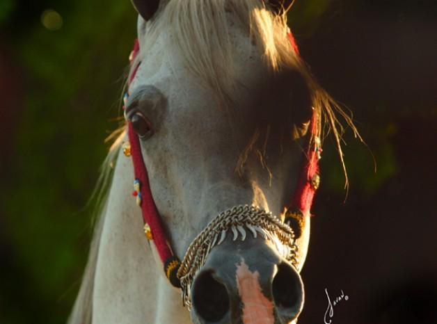 """غداً.. """"الزراعة"""" تبدأ فى بيع 40 رأساً من الخيول العربية الأصيلة"""