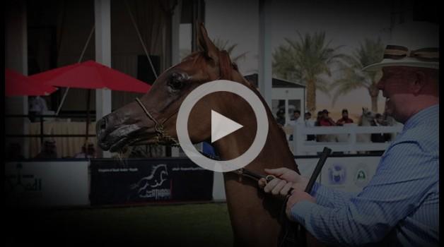 مقاطع مسجلة من بطولة الأمير سلطان بن عبدالعزيز لجمال الخيل العربية الأصيلة ٢٠١٣