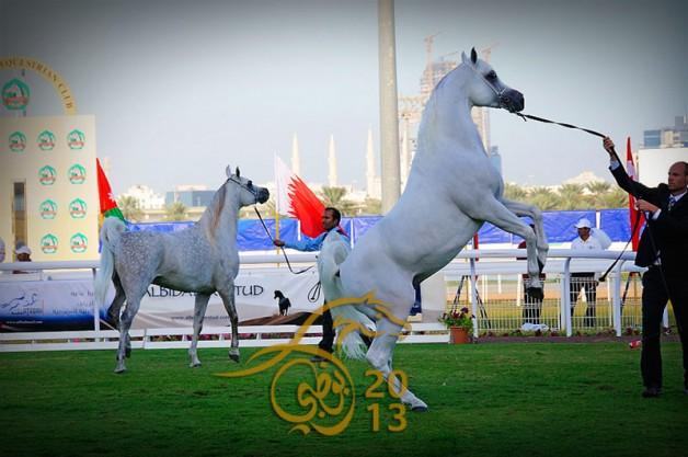 البث المباشر لمزاد وبطولة ابوظبي الدولية للخيول العربية