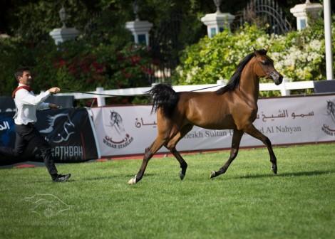 نتائج اليوم الأول وصور متفرقة من بطولة أبوظبي لجمال الخيل العربية ٢٠١٣