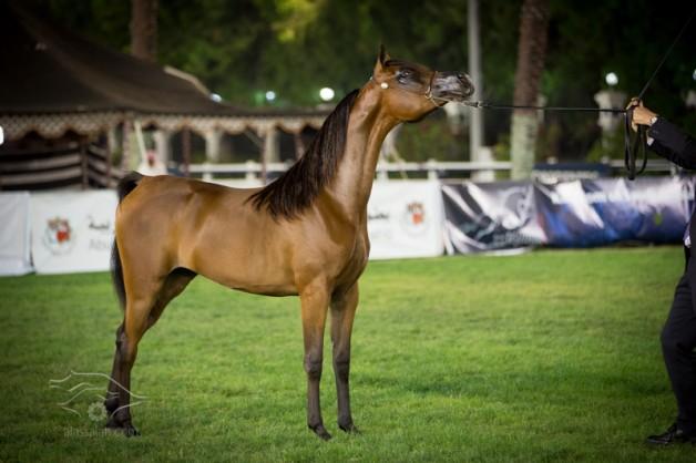 بطولة الإمارات الوطنية لجمال الخيول العربية تنطلق غداً