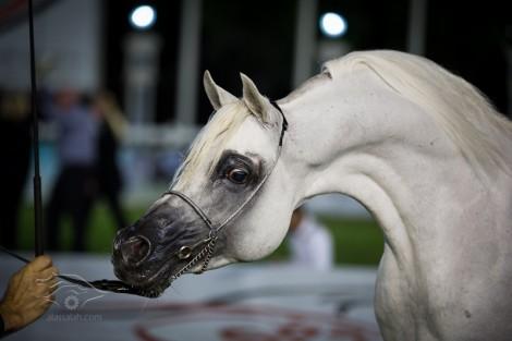 النتائج النهائية لأبطال بطولة ابوظبي لجمال الخيل العربية ٢٠١٣ بالصور