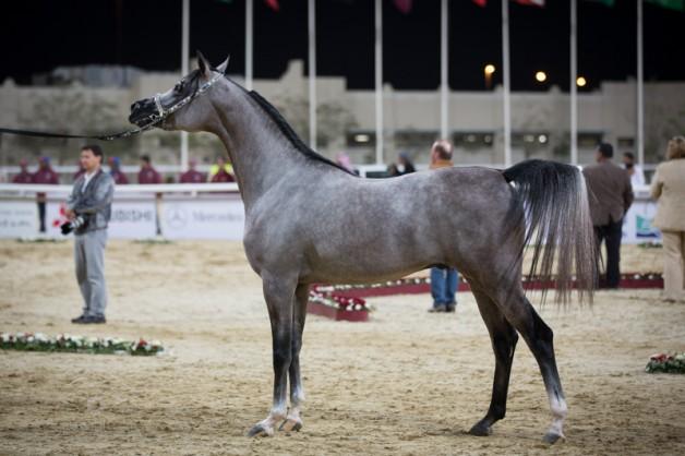 منافسات جمال الخيل العربية في قطر جمعت بين الأصالة والشموخ والتراث
