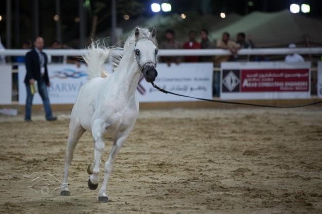 ختام جميل لبطولة جمال الخيل للسلالة المصرية بقطر