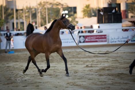بالصور نتائج اليوم الثاني لبطولة قطر الدولية الـ٢٢ لجمال الخيل العربية