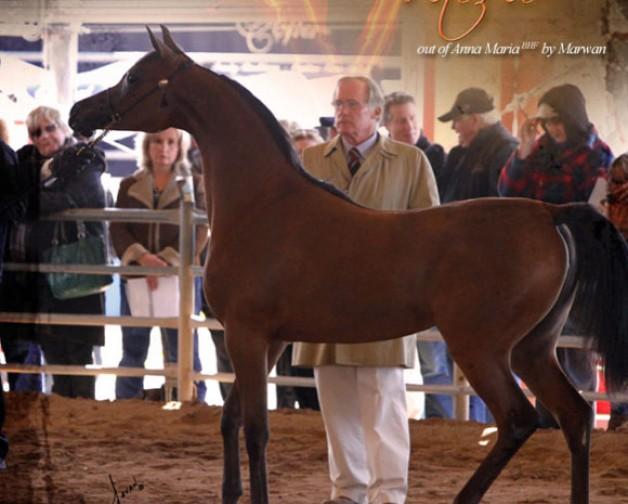 المهرة «بيلا فيتوريو» لمربط عجمان تفوز ببطولة سكوتسديل لجمال الخيول بأميركا