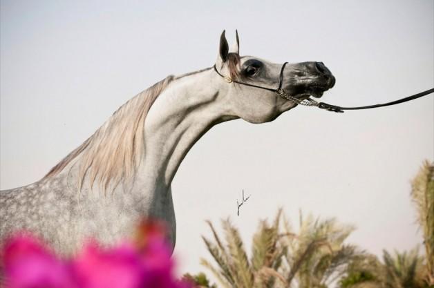ترقب وانتظار بطولة الكويت الدولية الثانية لجمال الخيل العربية الأصيلة