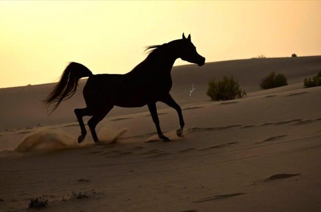 مهرجان الكويت الثاني لجمال الخيل العربية ينطلق غدا بمشاركة واسعة
