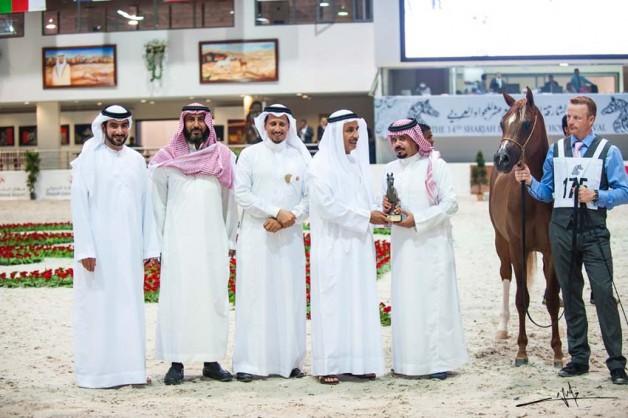 الخالدية وعذبه والمعود وانجازات سعودية جديدة في بطولة الشارقة لجمال الخيل
