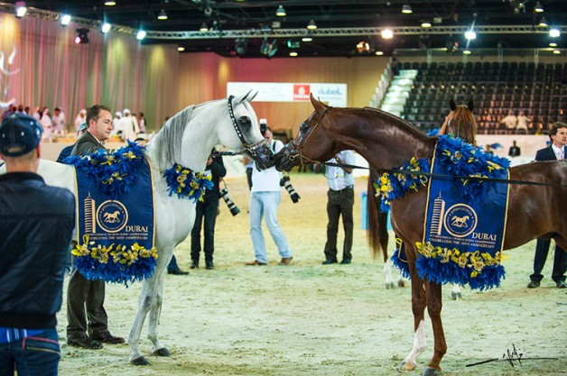 AED 15 million prizes in the12th Dubai International Arabian Horse Championship