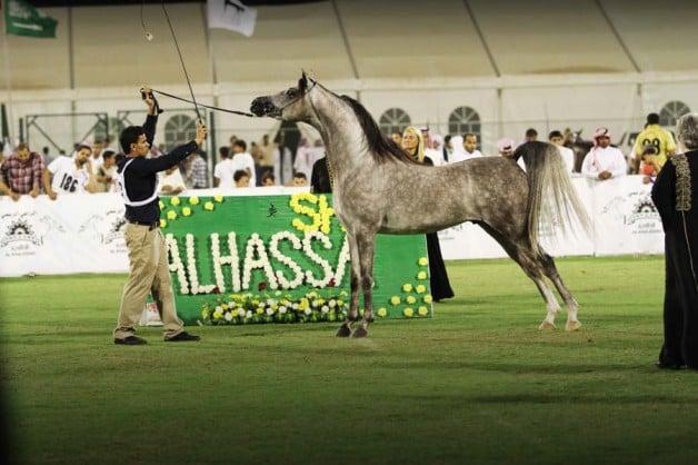 إنطلاق بطولة الأحساء الوطنية الخامسة لجمال الخيل العربية الخميس المقبل