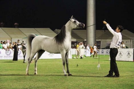 صور متفرقة من اليوم الختامي لبطولة الأحساء الوطنية الرابعة لجمال الخيل العربية الأصيلة