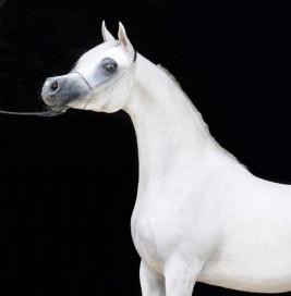 مربط «الزبير» يحقق بطولة الافراس في منتون و «عجمان» يحصل على لقب أفضل مربّ ومالك للخيول