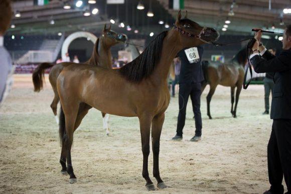 بطولة كأس المربين العرب الثانية للخيول العربية الأصيلة ٢٠١٥ تنطلق اليوم