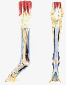 suspensory ligament picture