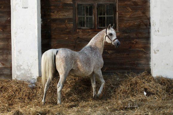 السفير البولندي لدى الكويت: الخيول العربية فخر صادرات بلادنا وتراثها