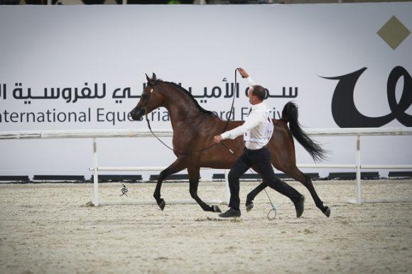 مقتطفات من بطولة قطر الدولية الـ ٢٤ لجمال الخيل العربية الأصيلة  ٢٠١٥