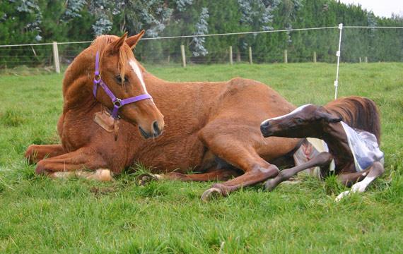 mare-foaling_8571