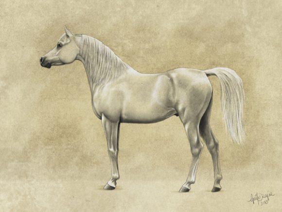 نوع- الكحيلان قوي، ثقيل العظام، مفتول العضلات، ملئ بالطاقة، الأرجل أقصر، الحصان بأكمله أعرض ذو رقبة أقوي ذات مظهر عضلي؛ الرأس عريض، عظمي، ليس مقعراً للغاية. شعر المعرفة والذيل غني ذو تكوين متوسط.