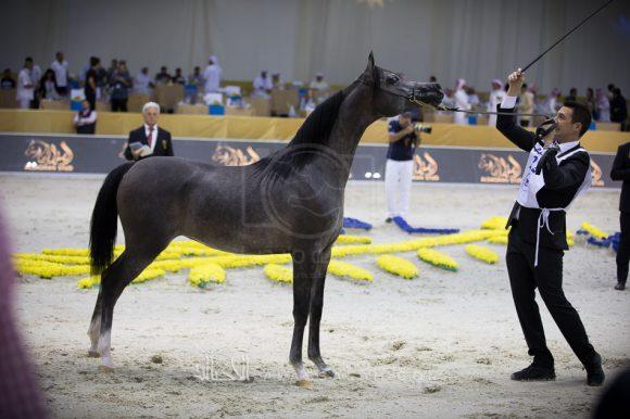 دي مميزة (أف أيه الرشيم x أم راندي) مربط دبي – الإمارات