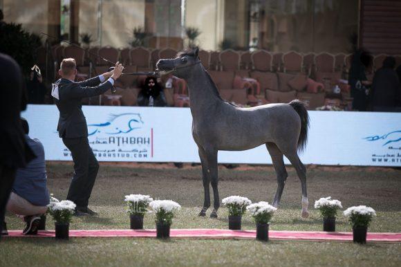 نبراس الحمد(فادي الشقب x النور الحمد) مربط الحمد – الكويت.