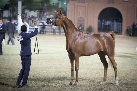 تهاني الخالد(ماغنم جولدx ال سي تورنتا) مربط الخالد – السعودية.