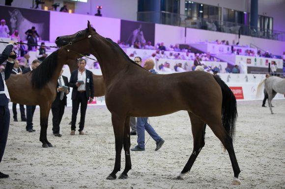 دي سينيه (اف ايه الرشيم x رويال أميرة) مربط دبي- الإمارات