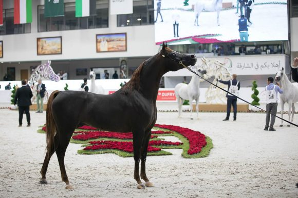 دي خطاف (رويال كلرز x دي جوان) مربط دبي – الإمارات