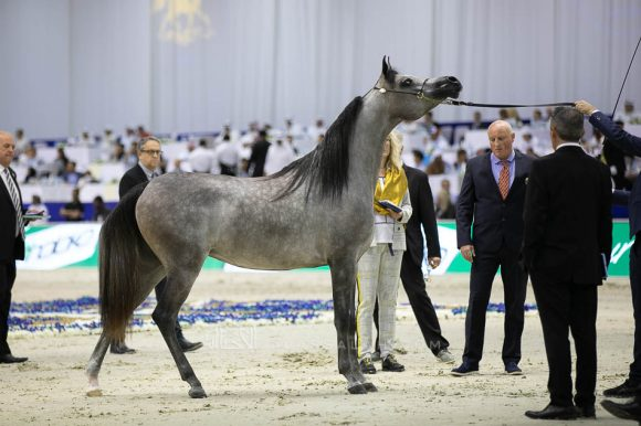 دي شيهانة (اف ايه الرشيم  xدي شهلا) مربط دبي – الإمارات. D Shihanah (FA El Rasheem x D Shahla) Dubai Arabian Horse Stud- UAE
