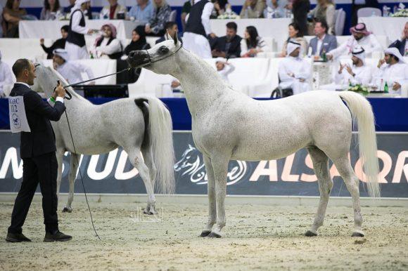 بيبيتا (اكسترين  xبيبسزا) مربط أكمل – السعودية. Pepita (Ekstern x Pepesza) Akmal Stud-KSA