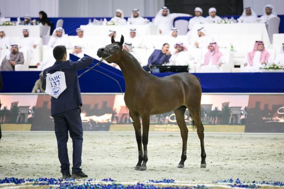 دي مزيان (اف ايه الرشيم  xدي مزايا) مربط دبي – الإمارات. D Mezyan (FA El Rasheem x D Mazaia) Dubai Arabian Horse Stud- UAE